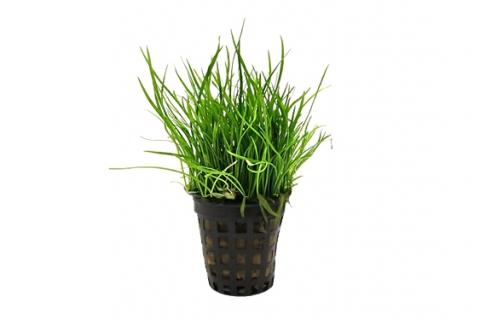 Plantes de tapis pour aquariums co2 supermarket - Tapis chauffant pour plante ...